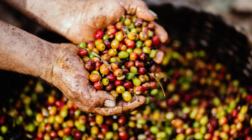 Beneath the Process - Natural and Washed Coffees