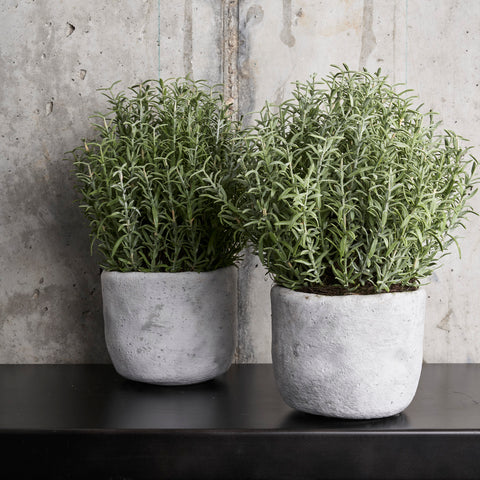 Rosemary Bush in Concrete Pot