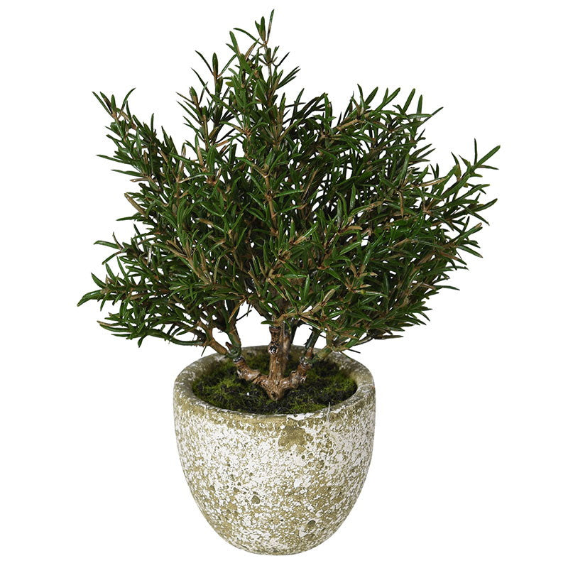 Rosemary in Clay Pot