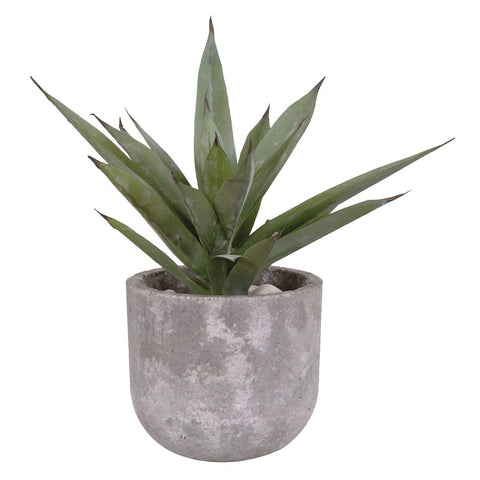 Aloe Vera In Concrete Pot