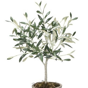 Potted Small Olive Tree