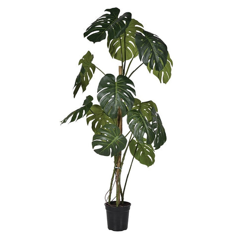 Large Monstera Plant