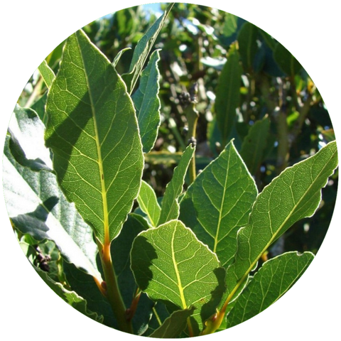 What are natural benefits of bay laurel? Aromanthi Aromatherapy Foot & Body Butter