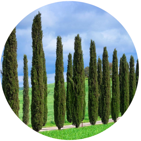 What are natural benefits of cypress essential oil? Aromanthi Aromatherapy Face Toner Skincare