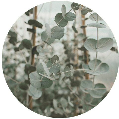 What are Natural Benefits of Eucalyptus Oil?- Aromanthi Aromatherapy Hand Sanitizer