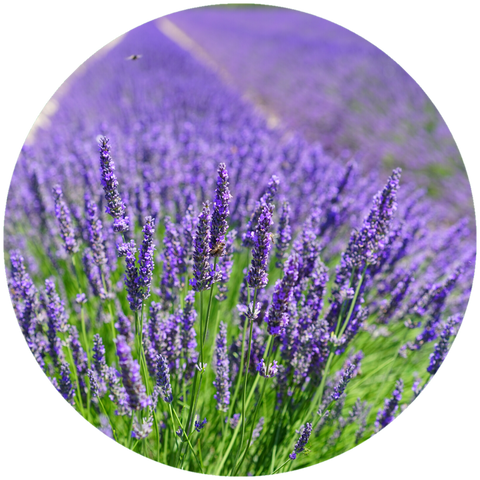 What are natural benefits of lavender? Aromanthi Aromatherapy Foot & Body Butter