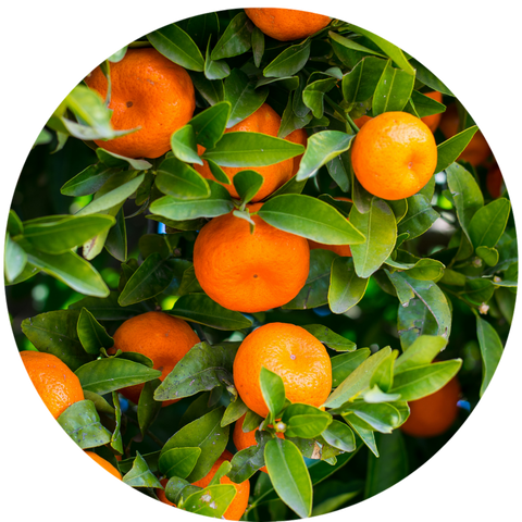 What are natural benefits of Tangerine Oil? Aromanthi Aromatherapy Essential Oil