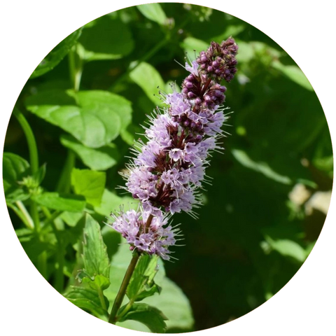 What are natural benefits of patchouli oil? Aromanthi Aromatherapy Essential Oils Face Oil Skincare