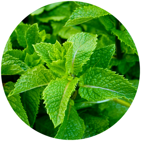 What are the benefits of natural peppermint essential oil? Aromanthi Aromatherapy Headache Wellness Nasal Inhaler