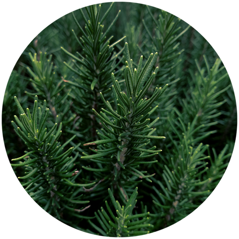 What are natural benefits of rosemary? Aromanthi Aromatherapy Foot & Body Butter