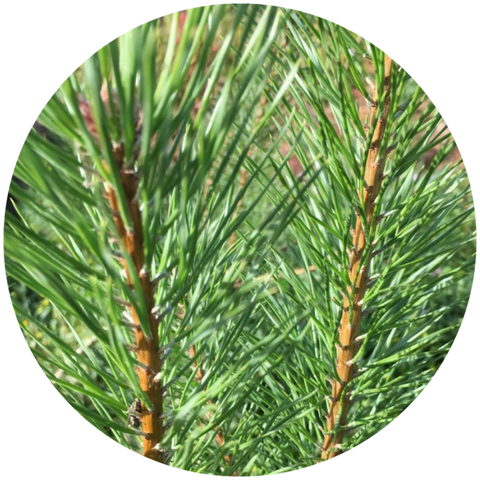 What are natural benefits of scots pine essential oil? Aromanthi Aromatherapy Stress Relief Therapy Spray