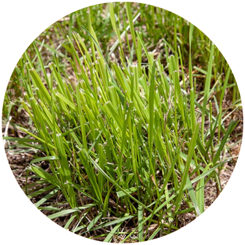 What are natural benefits of vetiver essential oil? Aromanthi Aromatherapy Miracle Pain Salve