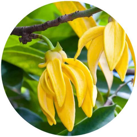 What is Ylang Ylang Essential Oil Benefit? Aromanthi Aromatherapy Wellness