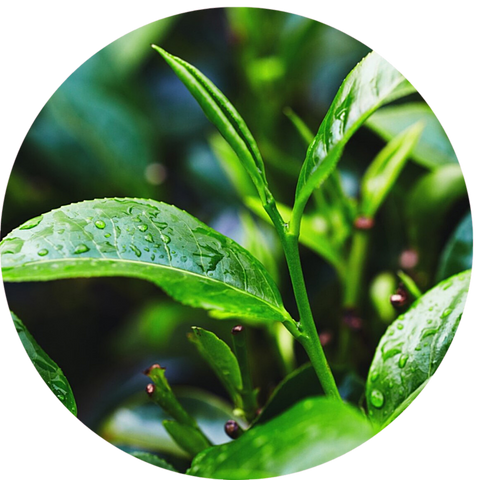 What are natural benefits of tea tree oil for skincare? Aromanthi aromatherapy face oil