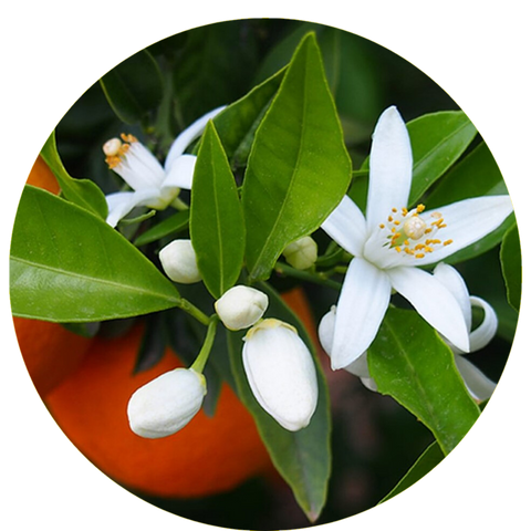 What are natural benefits of neroli? Mastic Essential Oil Daytime Moisturizer Natural Sunscreen- Aromanthi Aromatherapy