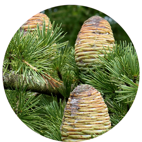 What are natural benefits of cedarwood? Mastic Essential Oil Daytime Moisturizer Natural Sunscreen- Aromanthi Aromatherapy