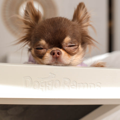 A long-haired chihuahua napping on her dog ramp