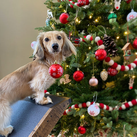 Daphne the long-haired Dachshund helps decorate a Christmas Tree with her DoggoRamp