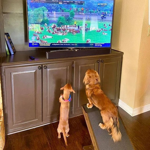 Two dachshunds with a dog ramp watching TV