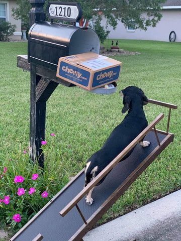 A Dachshund uses his dog ramp to check the mailbox