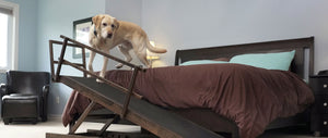 golden retriever senior dog on bed ramp
