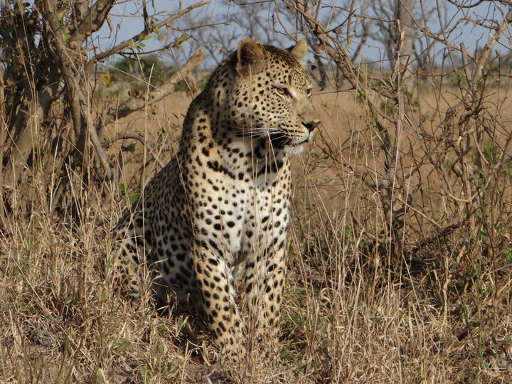 Leopards and Termites