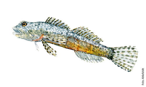 Alpine bullhead freshwater fish watercolor by Frits Ahlefeldt