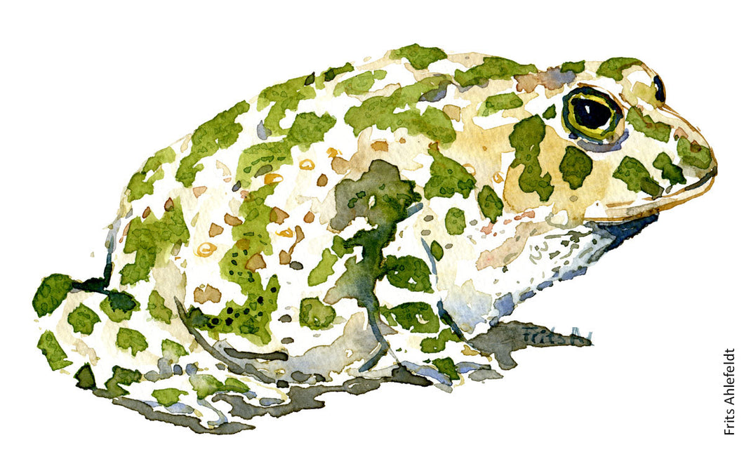 Green toad sideview watercolor by Frits ahlefeldt