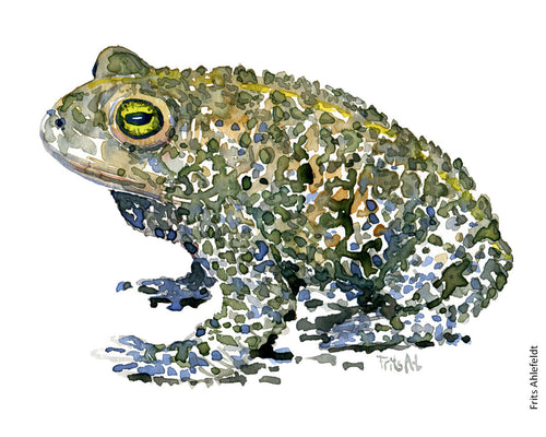 natterjack toad watercolor by Frits Ahlefeldt