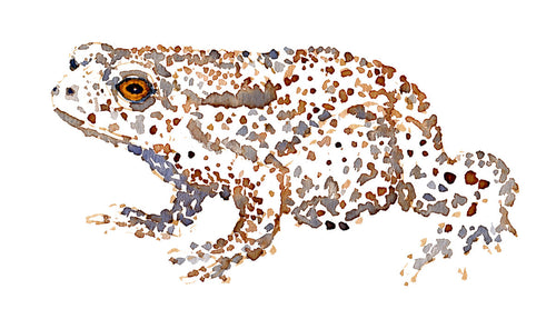 Common Toad sideview watercolor by Frits Ahlefeldt