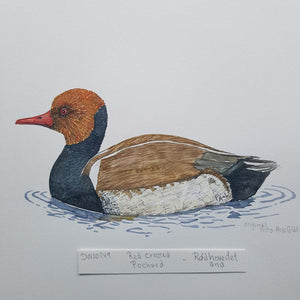 dw00149 Red-crested pochard Original watercolor