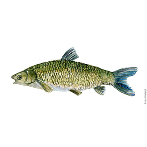 Dw00059 Download Grass Carp freshwater watercolor