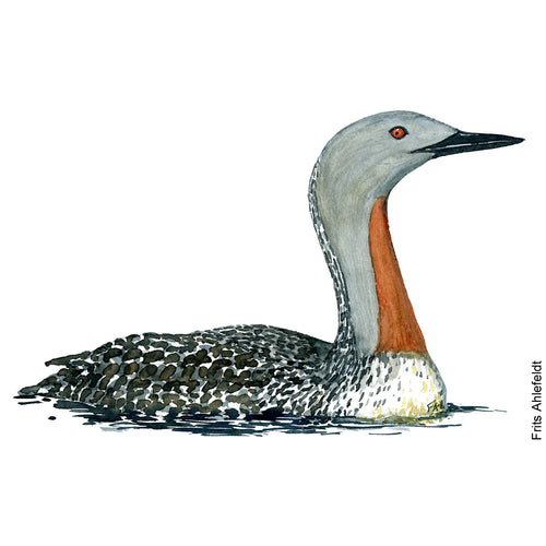 Watercolor Rødstrubet Lom - Redbreasted loon ( Gavia stellata )