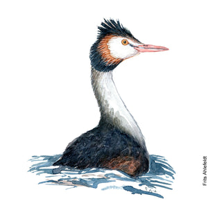 Dw00066 Download Great crested grebe back watercolor