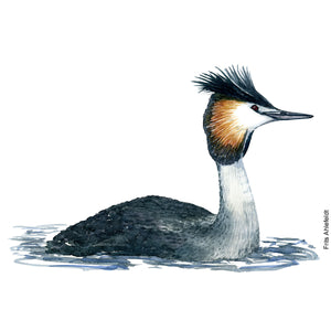 Dw00067 Download Great crested grebe watercolor