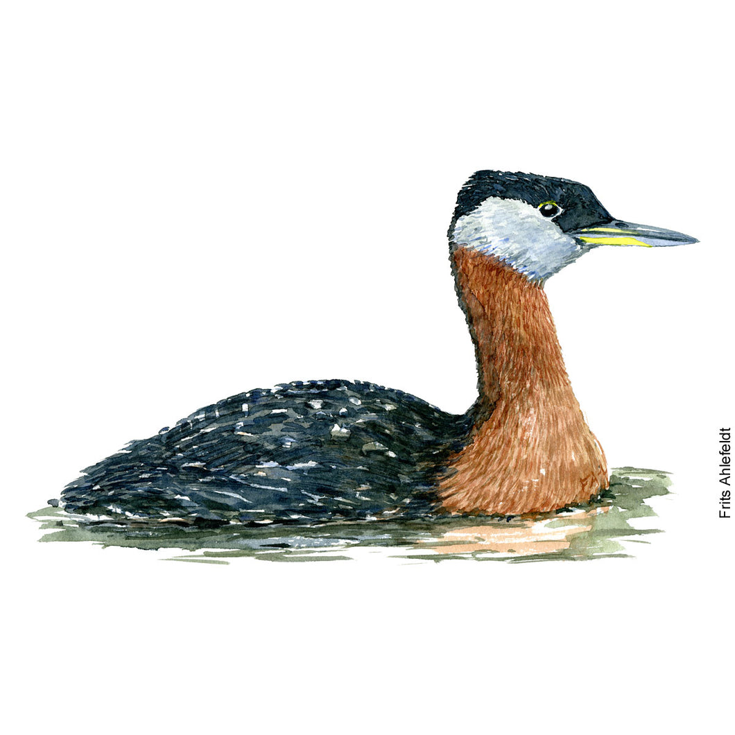 Dw00068 Download Red necked grebe watercolor