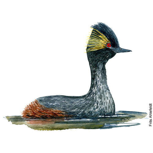 Dw00070 Download Black necked grebe watercolor