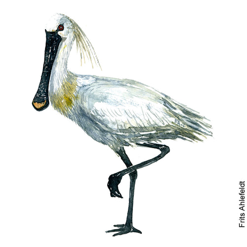 Dw00080 Download Eurasian spoonbill bird watercolor