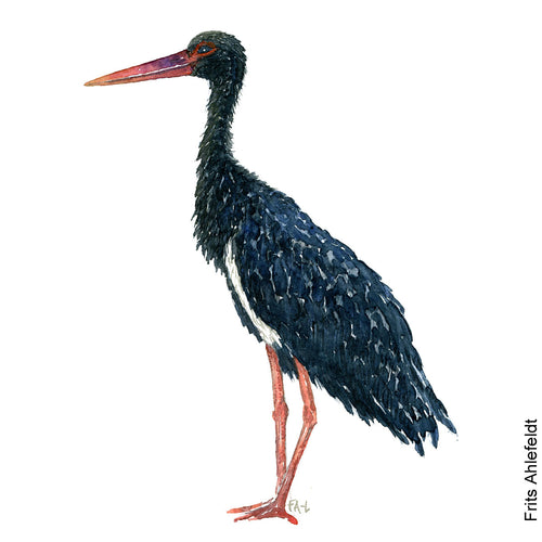 Dw00081 Download Black stork bird watercolor