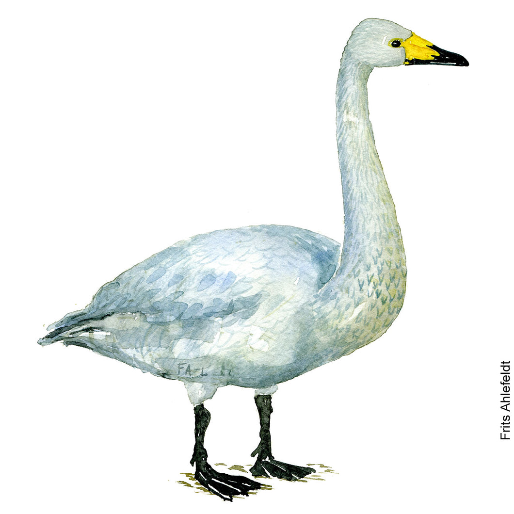 Dw00085 Download Whooper Swan bird watercolor