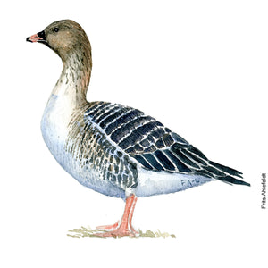 Dw00087 Download Pink footed goose watercolor