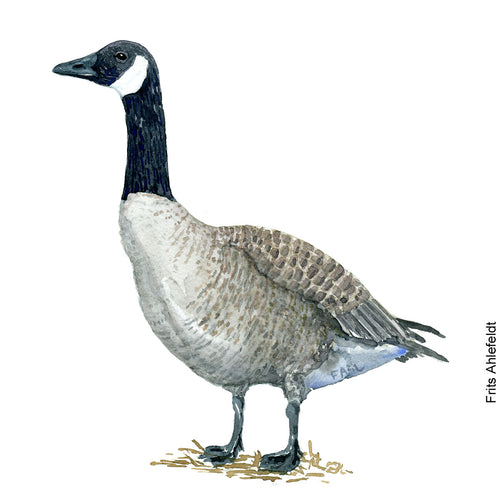 Dw00092 Download Canada goose bird watercolor