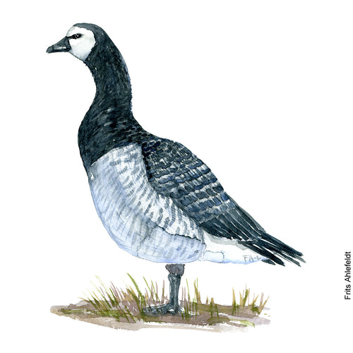 Dw00093 Download Barnacle goose bird watercolor