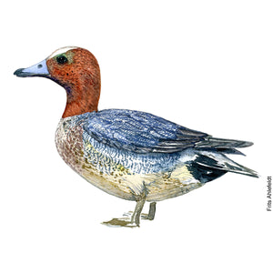 Dw00094 Download Eurasian wigeon bird watercolor