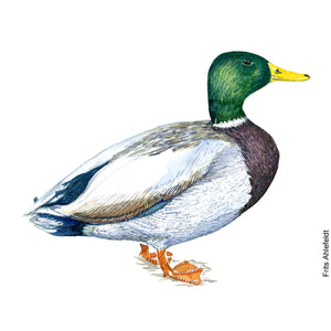 Dw00096 Download Mallard duck bird watercolor