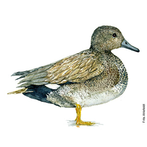 Dw00097 Download Gadwall duck bird watercolor
