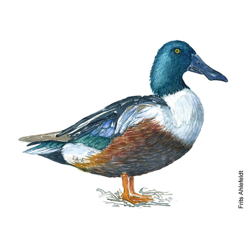Dw00098 Download Northern shoveler duck bird watercolor