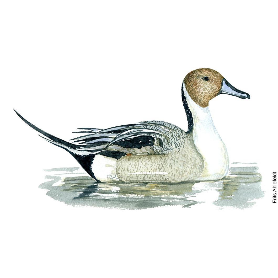 Dw00099 Download Northern pintail duck bird watercolor