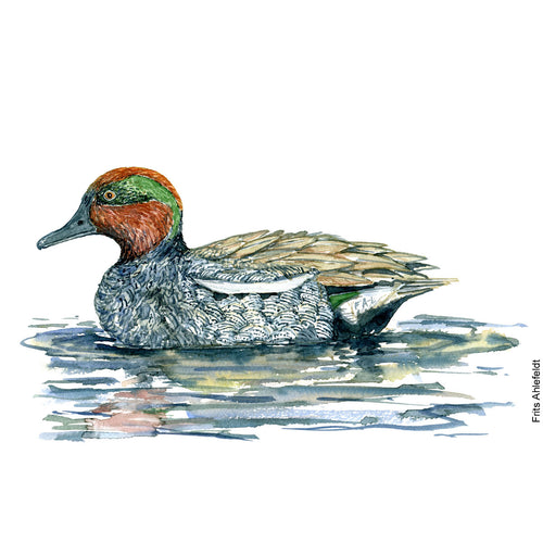 Dw00100 Download Eurasian teal duck bird watercolor
