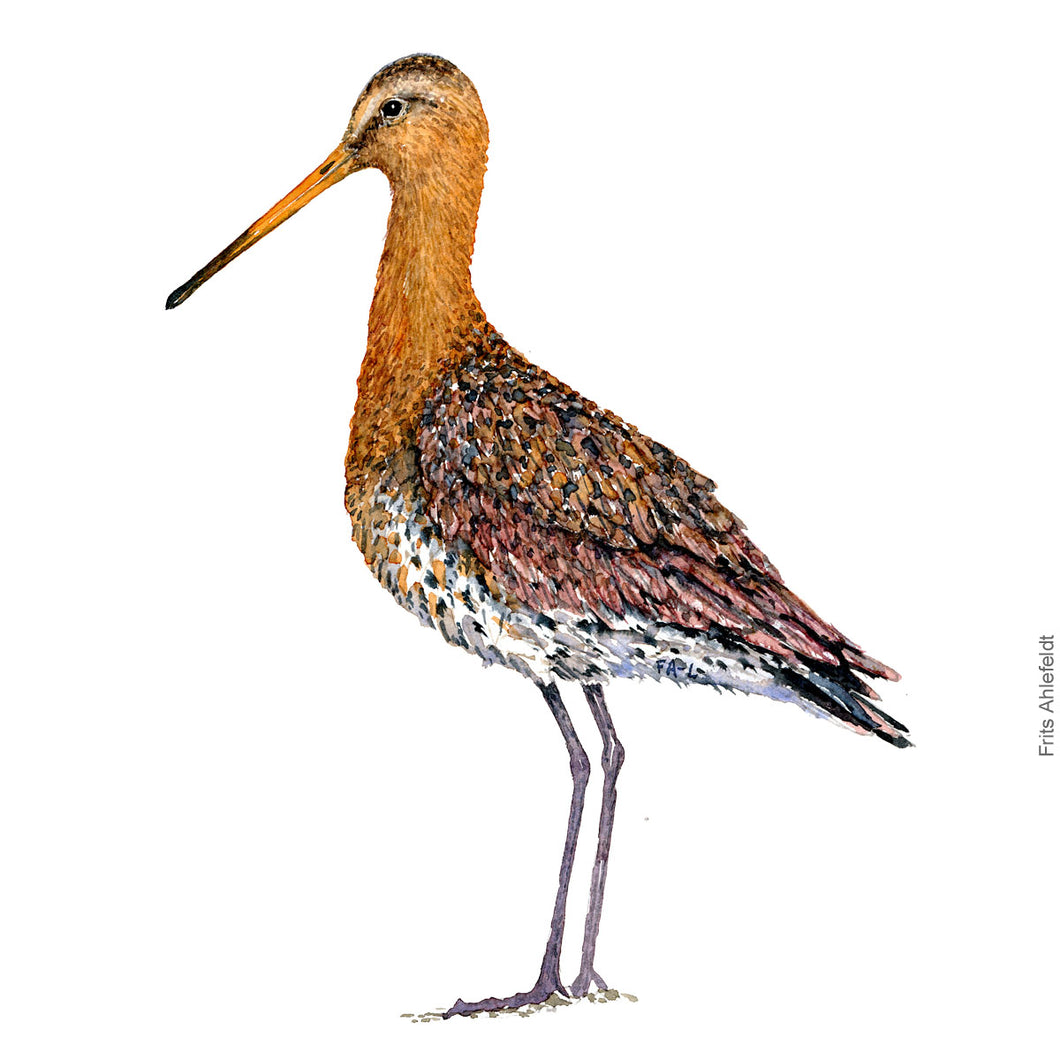 dw00111 Download Black tailed godwit watercolor